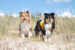 Cute shetland shepdog in lifeguard vest sitting outside on summer day with blue sky background. Black sable white little sheltie, collie, lassie dog bay watch patrol ready to help people on hot day