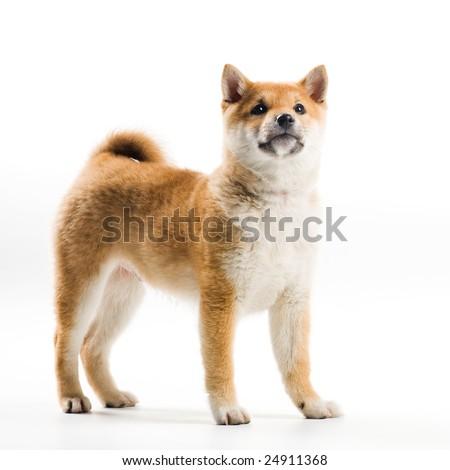 Cute Shiba Inu puppy on a white background