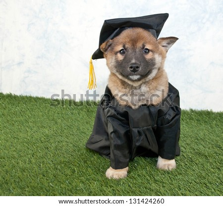 Cute Shiba inu puppy wearing a graduating cap and gown.