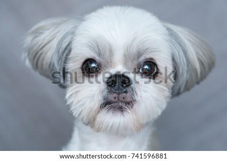 Cute shih-tzu dog close-up portrait. Focus on nose. #741596881