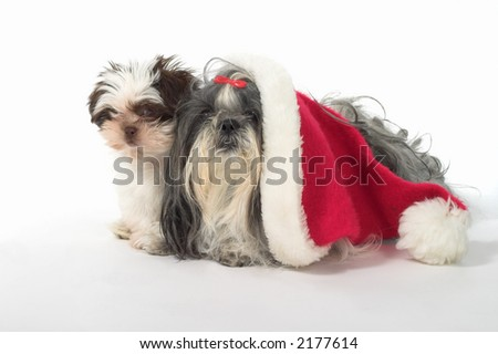 Cute Shih Tzu dogs, one wearing a Santa hat. Year old female dog and a 3 month old puppy.