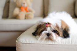 Cute shih tzu puppy in lazy day
