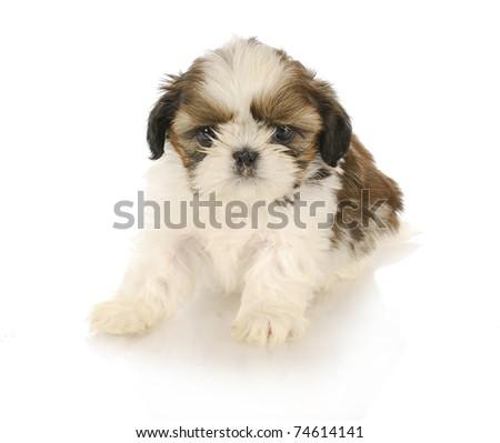 cute shih tzu puppy on white background