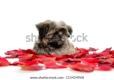 Cute shih tzu puppy with red rose pedals on white background