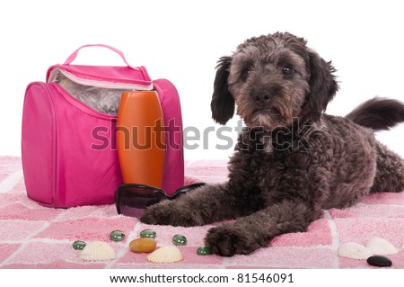 cute shipoo dog lying at the beach (studio setting with bag, sun lotion, pink towel and little pebbles) isolated on white background
