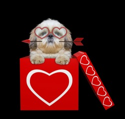 Cute shitzu dog with arrow sitting in valentines box. Isolated on black background