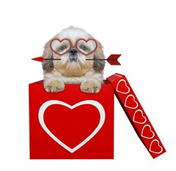 Cute shitzu dog with arrow sitting in valentines box. Isolated on white background