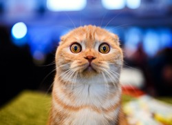 Cute shocked cat, surprised emotions. Scottish Fold.