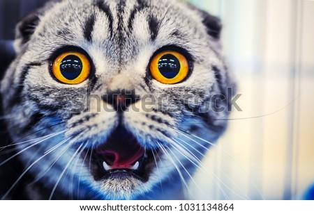 Photo of  Cute shocked cat, surprised emotions. Scottish Fold.