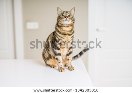 Cute short hair cat looking curious and snooping at home #1342383818