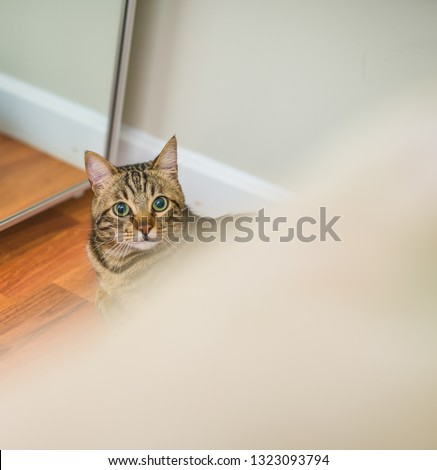 Cute short hair cat looking curious and snooping at home playing hide and seek #1323093794