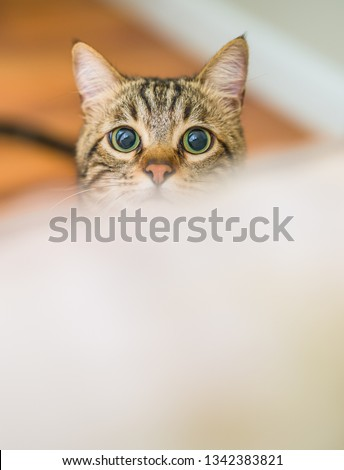 Cute short hair cat looking curious and snooping at home playing hide and seek #1342383821