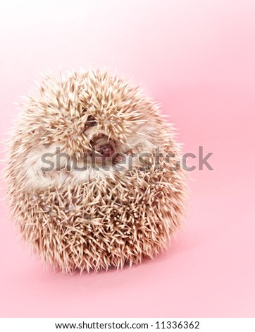 cute shy little hedgehog hiding, pink background