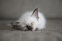 Cute Siamese cat kittens