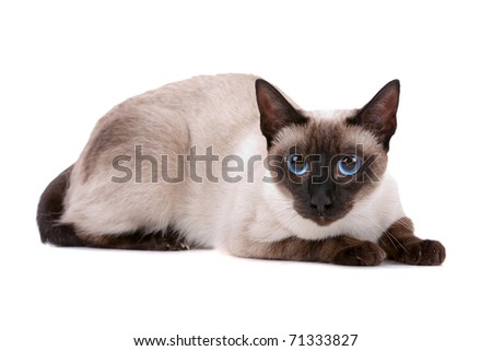 Cute Siamese cat looking at camera on a white background