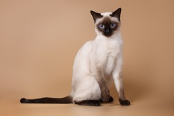 Cute siamese seal-point cat sitting on brown background