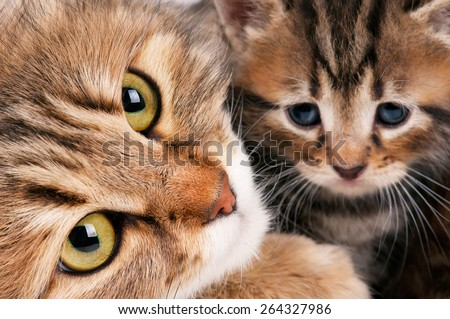 Cute siberian cat with little kitten with focus on the cat