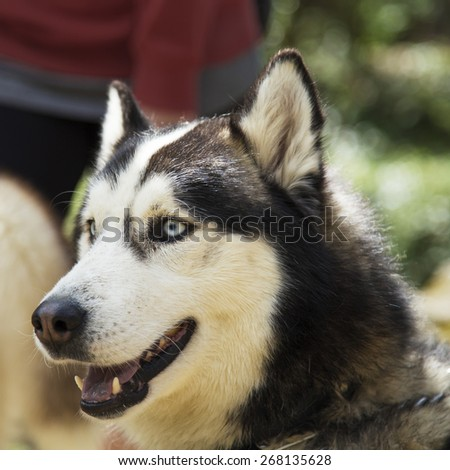 Cute Siberian Husky dog head portrait with bright blue eyes and a cute expression on a nature blurred background scene.