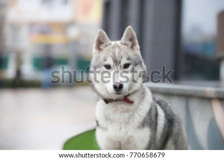 Cute siberian husky puppy in big sity  #770658679