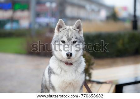 Cute Siberian Husky Puppy In Big Sity Ez Canvas