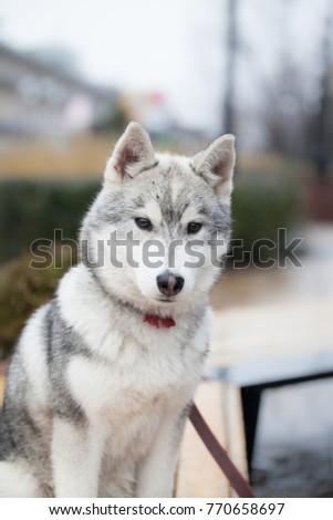 Cute siberian husky puppy in big sity  #770658697