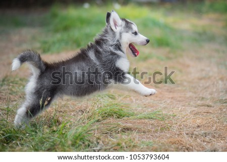 Cute siberian husky puppy jumping on the grass