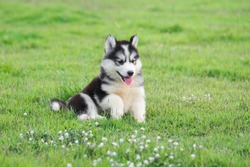 Cute siberian husky puppy on grass