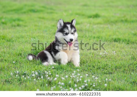 cute siberian husky puppy on...