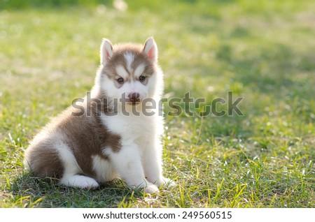 Cute Siberian Husky Puppy On Grass Ez Canvas