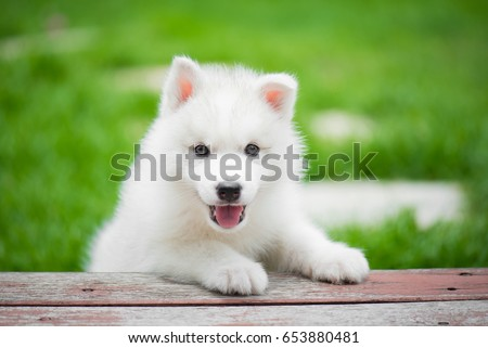 Cute siberian husky puppy playing in the park and look at camera - Shutterstock ID 653880481