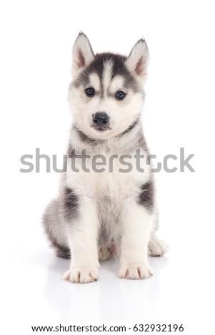 Cute Siberian Husky Puppy Sitting On White Background Isolated Ez