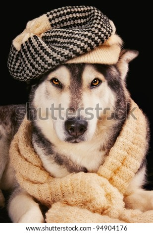 Cute siberian husky wearing a vintage hat and a shawl