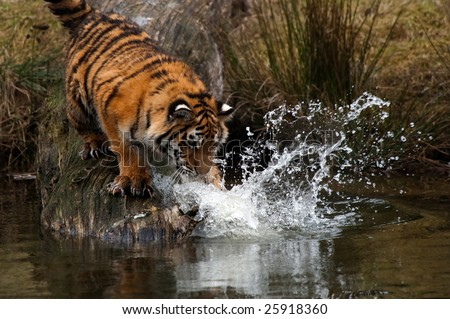 Cute Siberian tiger cub trying to catch some fish (Panthera tigris altaica)