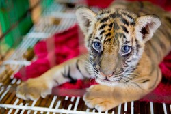 cute siberian tiger in cage