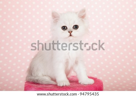 Cute Silver Chinchilla Persian kitten sitting inside large cup with white daisies on blue background