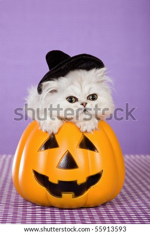 Cute Silver Chinchilla Persian kitten with witch hat inside orange pumpkin on purple background