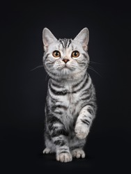Cute silver tortie American Shorthair cat kitten, standing facing front. Looking at camera with orange eyes, one paw playful in air. Isolated on black background.
