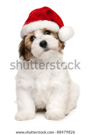 Cute sitting Bichon Havanese puppy dog in Christmas - Santa hat. Isolated on a white background stock photo