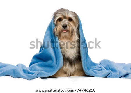 Cute sitting tricolor Havanese with blue blanket. Isolated on a white background