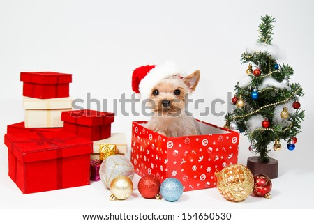 Cute sitting Yorkshire Terrier puppy dog in a Christmas - Santa hat,Present boxes Isolated on a white background