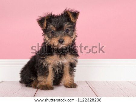 Cute sitting yorkshire terrier, yorkie puppy looking at the camera in a pink living room setting