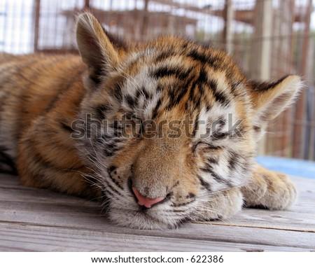Cute sleeping tiger cub
