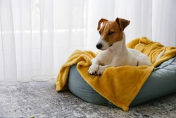 Cute sleepy Jack Russel terrier puppy with big ears resting on a dog bed with yellow blanket. Small adorable doggy with funny fur stains lying in lounger. Close up, copy space, background, top view.
