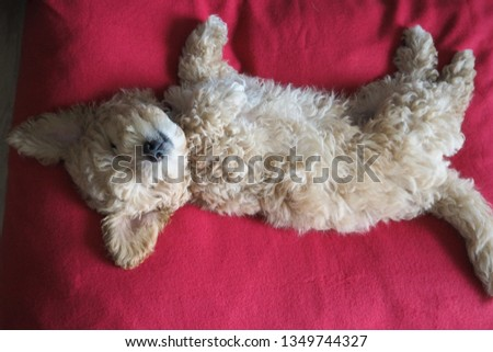 Cute sleepy puppy