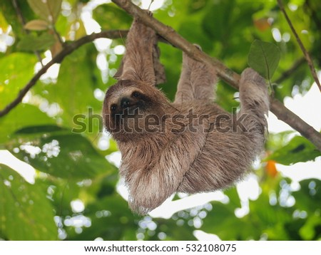 Cute sloth, Bradypus variegatus, hanging from a branch in the forest, wild animal, Panama, Central America #532108075