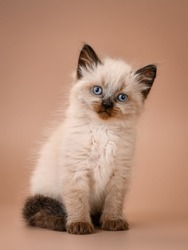 cute small adorable siamise colour kitten
