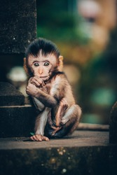 Cute Small Baby Monkey Long tale Macaque Monyet Animal Mammal Primate at Bali Forest Indonesia