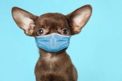 Cute small Chihuahua dog in medical mask on light blue background. Virus protection for animal