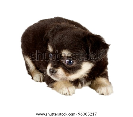 cute small chihuahua puppy sitting on white looking at camera isolated