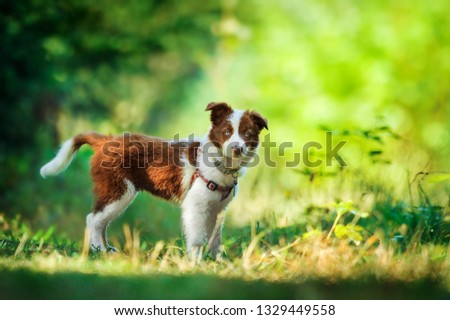 Cute small cub of brown and White Border Collie in colorful blur forest. Adorable inteligent and beautiful dog animal. #1329449558